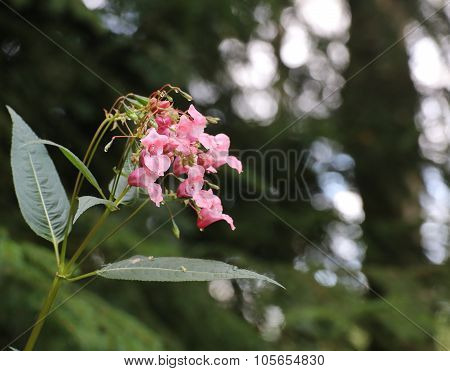Beautiful Blossoms Of Himalayan Balsam (impatiens Glandulifera)