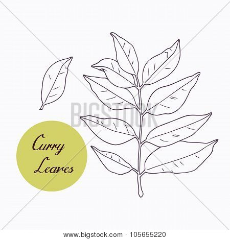 Hand drawn curry leaves branch isolated on white