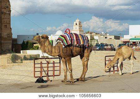 View ti the camels standing next to the entrance to the El Djem amphitheater in El Djem, Tunisia.