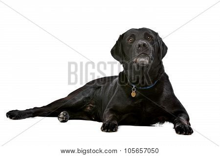 Black Ten Years Old Labrador