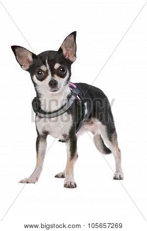 Black And White Chihuahua Dog