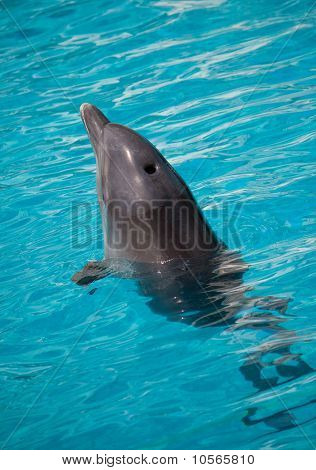 Dolphin Swimming In Water