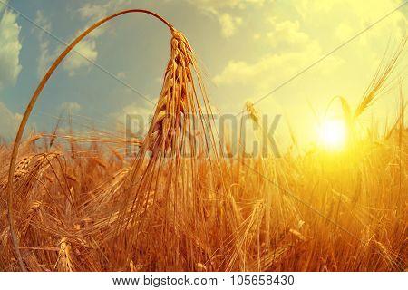 Barley field at sunset.