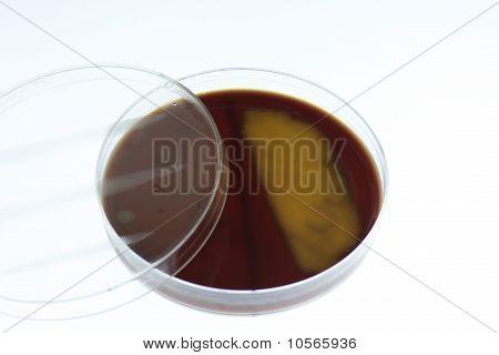 Bacterial Growth On Chocolate Agar