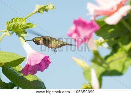 Male Hummingbird looking for nectar in a Morning Glory flower