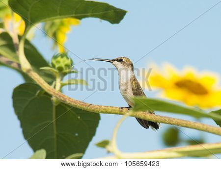 Female Ruby-throated Hummingbird resting on a wild Sunflower branch