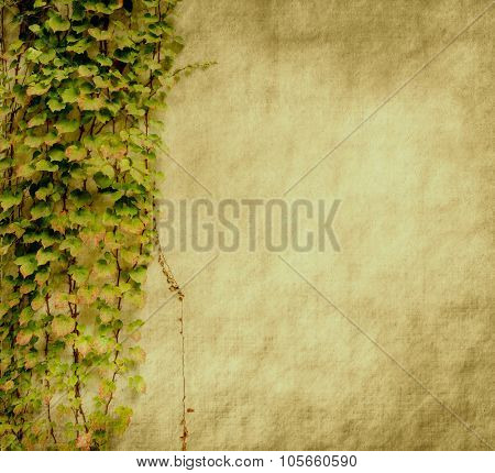 ivy on grunge cracked wall