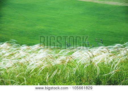 Field Of Feather Grass