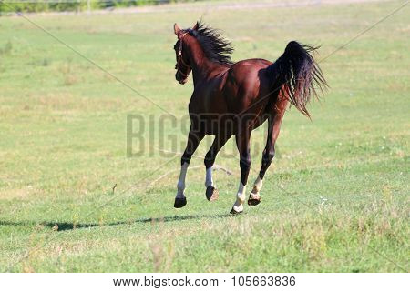 Purebred Horse Runs On Meadow In A Sunny Day