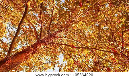 Multi Color Orange Sycamore Tree Leaves.