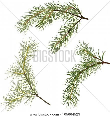 illustration with pine branches isolated on white background