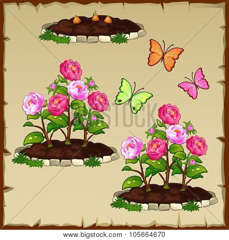 Pink peony and butterflies