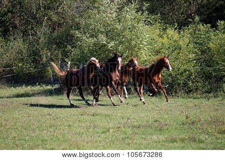 Purebred Horses Runs On Meadow In A Sunny Day Rural Scene