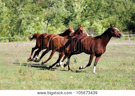 Purebred Young Stallions Runs On Pasture Summertime