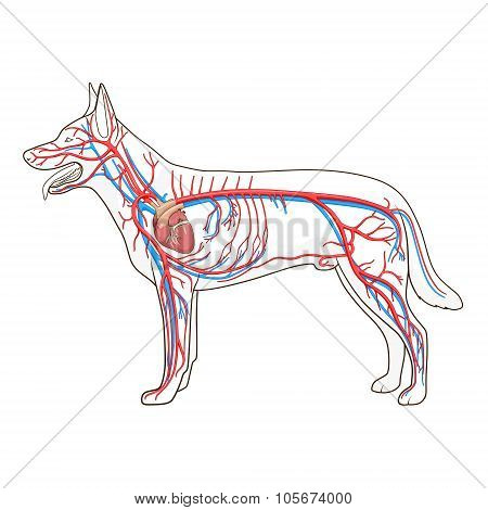 Vascular system of the dog vector illustration