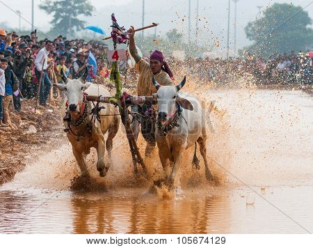 Khmer cow racing festival in An Giang, Vietnam