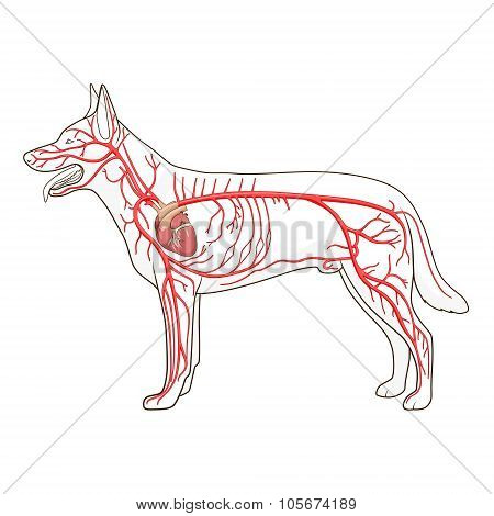 Arterial circulatory system of the dog vector