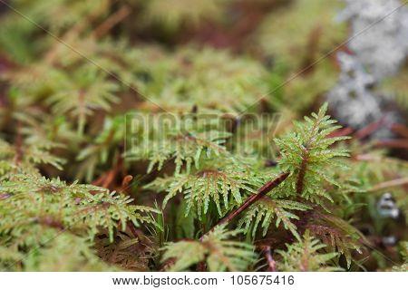 Macro Shot Of Stairstep Moss (hylocomium Splendens)
