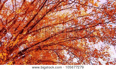 Crimson or Scarlet Maple Tree Fall Foliage.