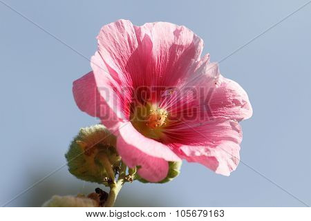 Blooming Hollyhock