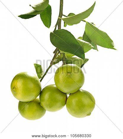 Sweet lemon bough isolated on white background.