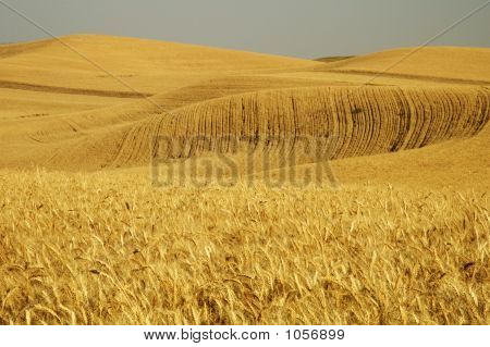 Wheat Field 5