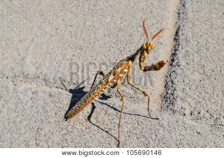 Insect Mantis Religiosa