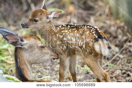 Fawn and mom deer in a forest