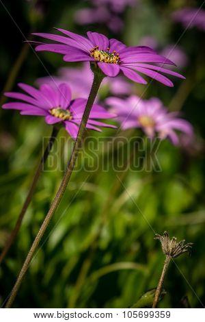 Asteraceae daisy flower