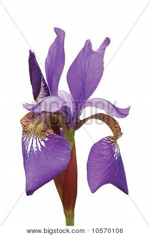 Purple Siberian Iris (iris Sibirica L.) Macro Closeup Isolated