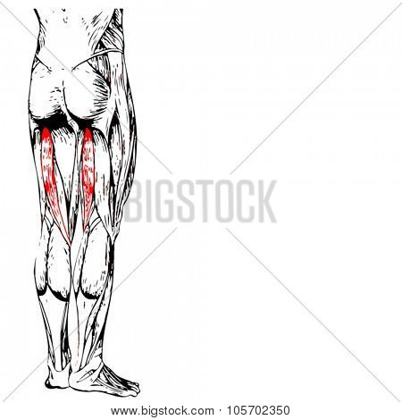 Vector concept or conceptual 3D gastrocnemius human upper leg anatomy or anatomical and muscle isolated on white background