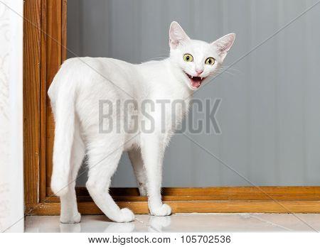 Funny Crazy Cat