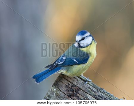 Bluetit (parus Caeruleus) Looking Behind