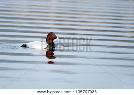 Common Pochard (aythya Ferina), Male