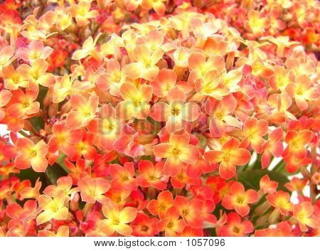 Orange Kalanchoe Flower