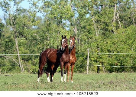 Beautiful Curious Horses On Summer Meadow With Forester Background