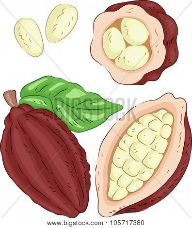 Illustration of a Cacao Fruit with the Seeds Exposed