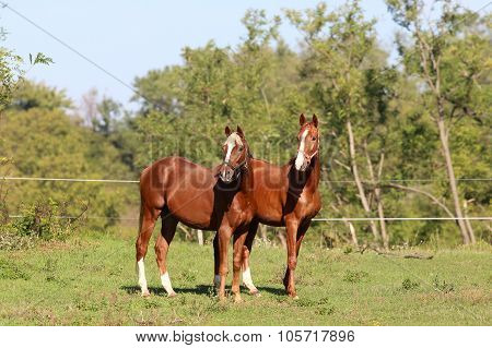 Two Curious Youngster Horse Standing On Pasture