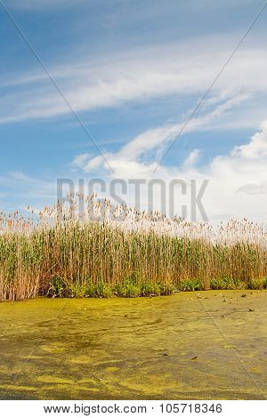 Small River With Duckweed On The Water And Reed On The Riverside