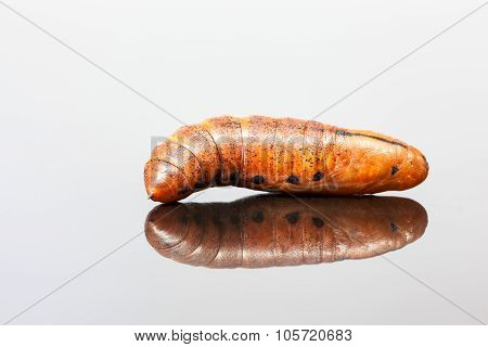 Larva Of An Elephant Hawk-moth
