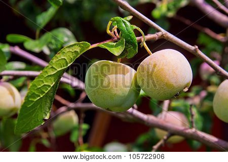 Green Unripe Plums On The Plum Tree.