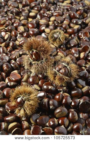Background Of Chestnuts And Urchins