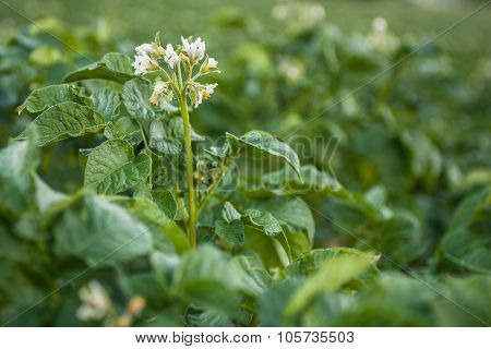 Flowers Potatoes