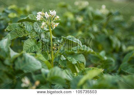 Flowers Potatoes