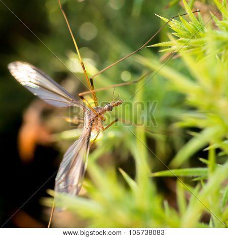 Common Giant Mosquito