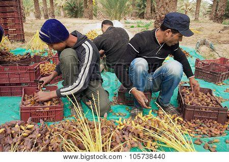 Men harvest dades in El Goula, Tunisia.