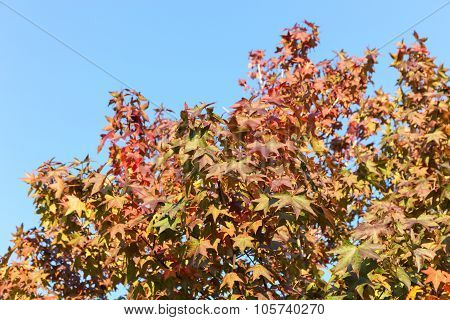 Maple Leaf With Clear Blue Sky
