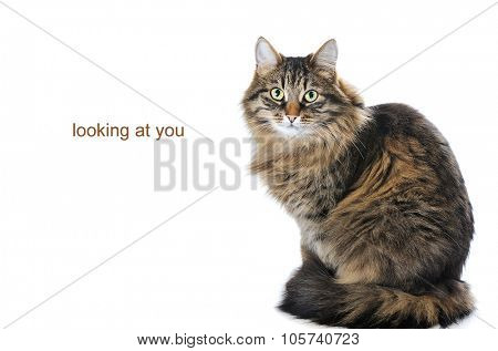 portrait of cat isolated on white background