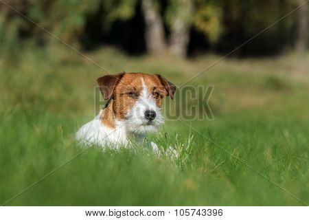 adorable jack russell terrier dog outdoors in summer