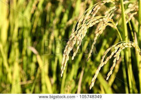 Green Rice Plant